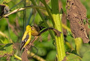 3rd Sep 2020 - Kissing Goldfinches