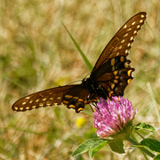 4th Sep 2020 - black swallowtail butterfly