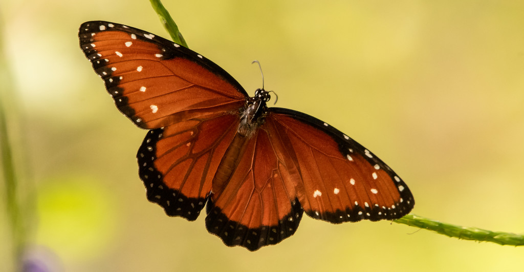 Queen Butterfly! by rickster549