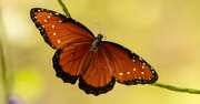 4th Sep 2020 - Queen Butterfly!