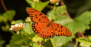 4th Sep 2020 - Gulf Fritillary Butterfly!