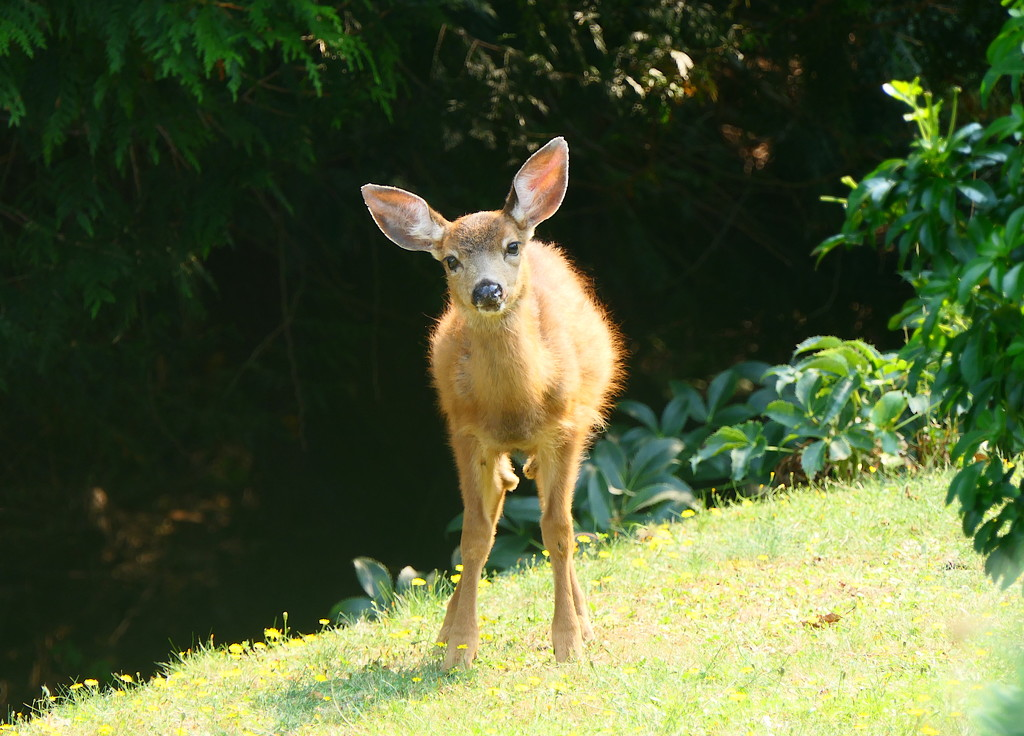 Fawn on the Lawn by redy4et