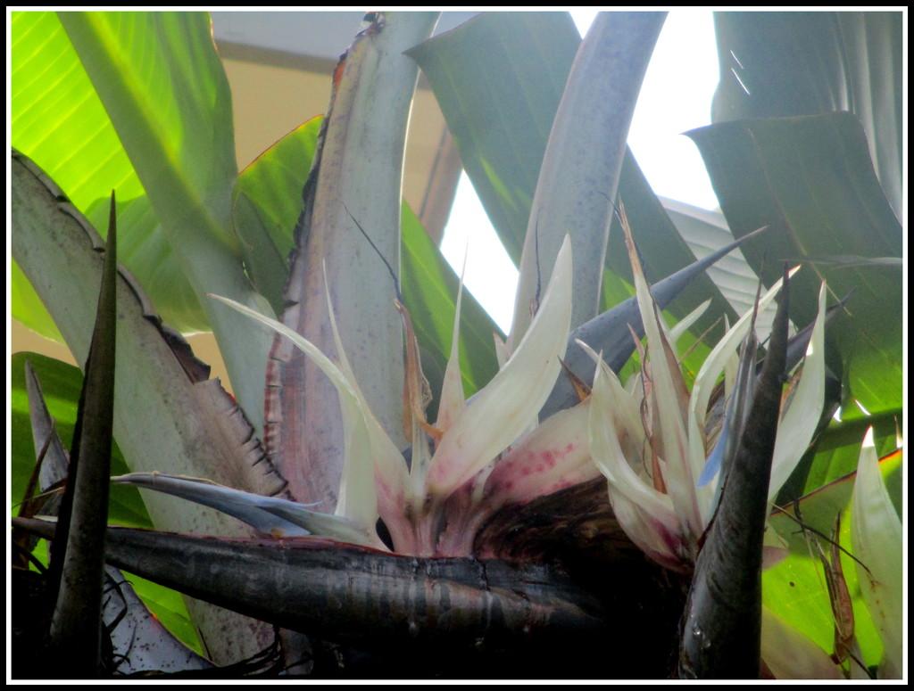 ?  White Streletzia  (Travellers Palm) by 777margo