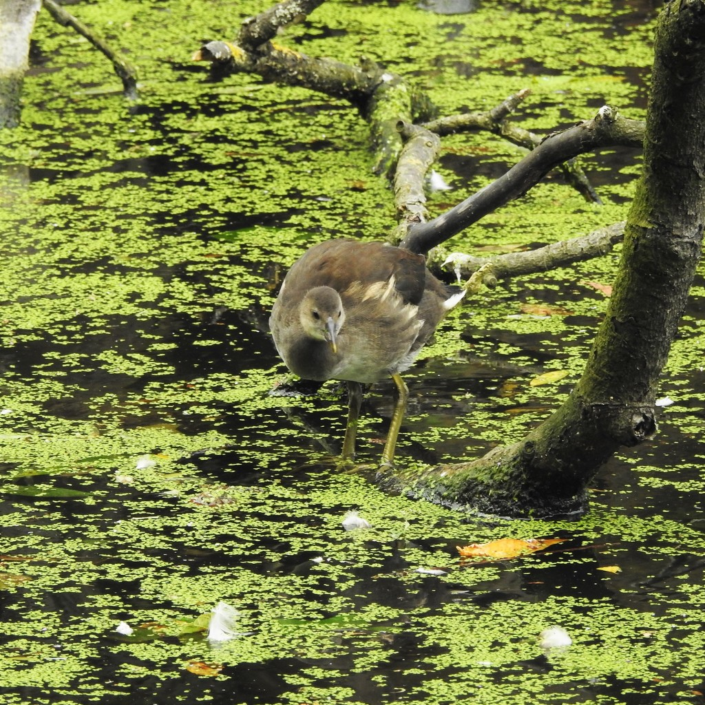 Young Moorhen by oldjosh