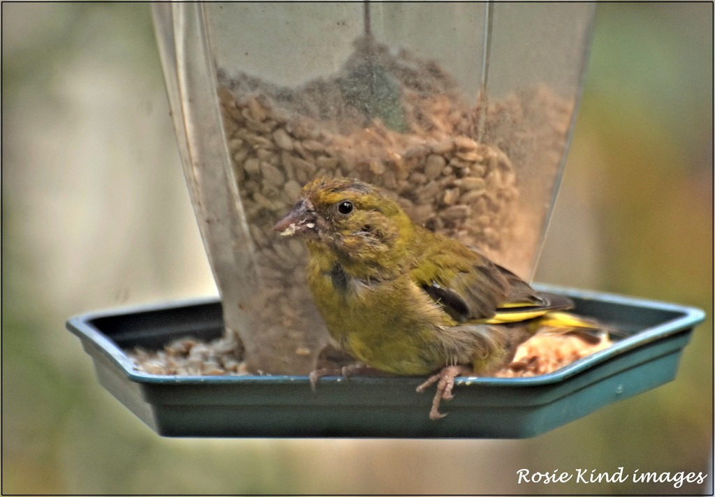 Nice to see the greenfinches by rosiekind