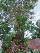4th Sep 2020 - Huge birch tree