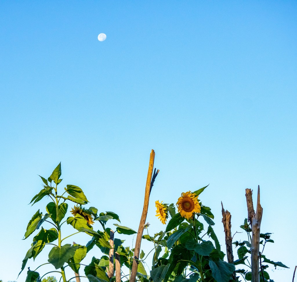 Moon & Sunflower by bmaddock