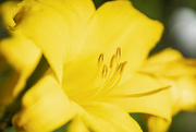 5th Sep 2020 - Yellow Lily