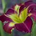 Lily by kvphoto
