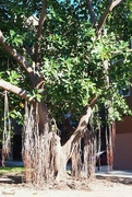 5th Sep 2020 - Ficus