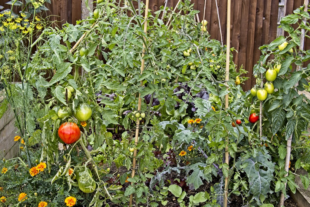 Tomatoes by billyboy
