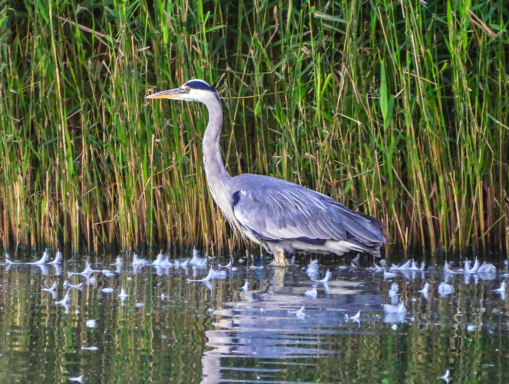 Heron in the Reeds. by tonygig