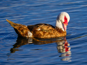 4th Sep 2020 - Muscovy.