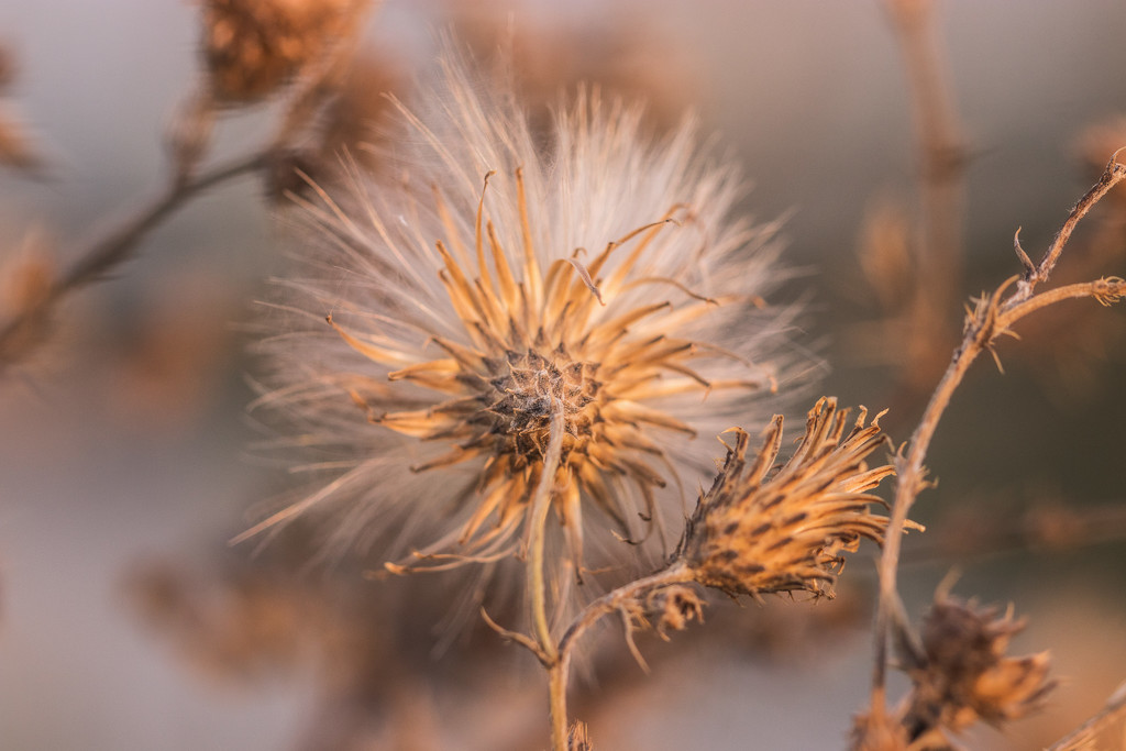 dry thistle by aecasey
