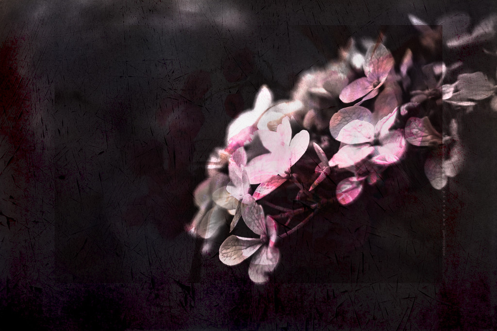hydrangea with spilled paint by pistache
