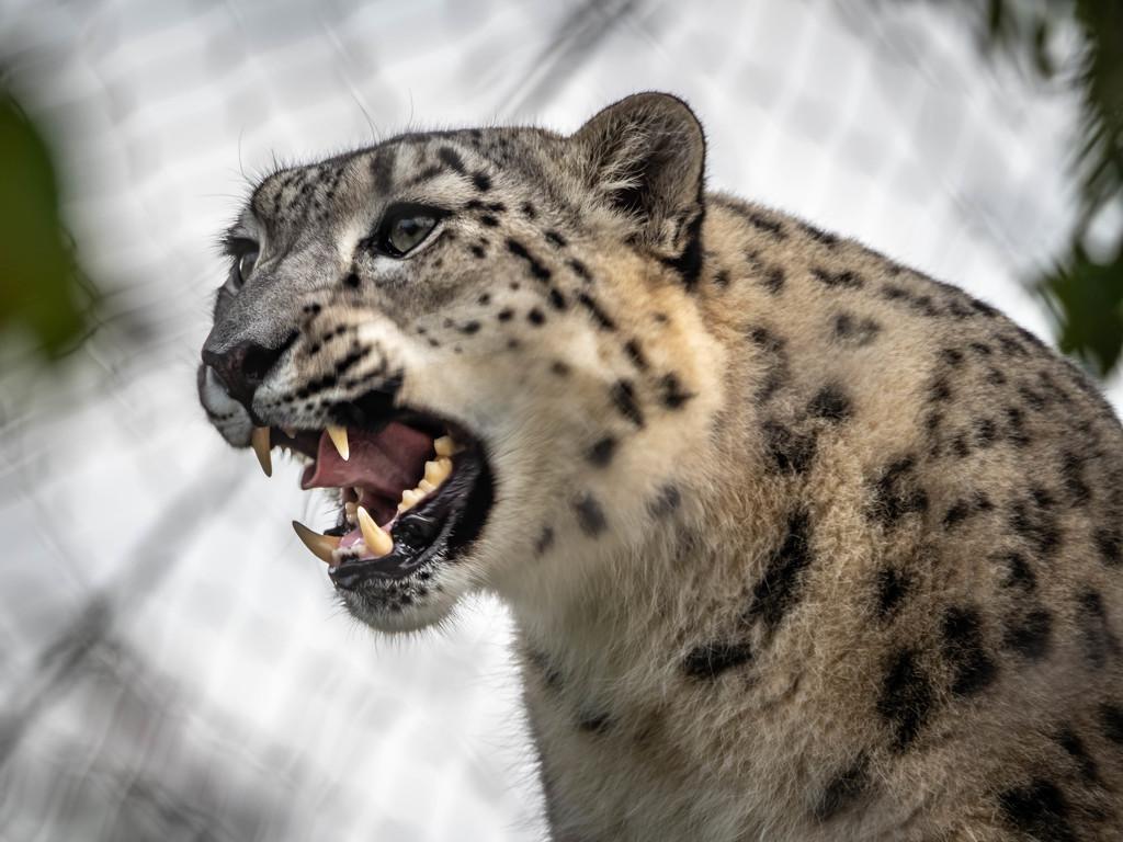Snow leopard by haskar