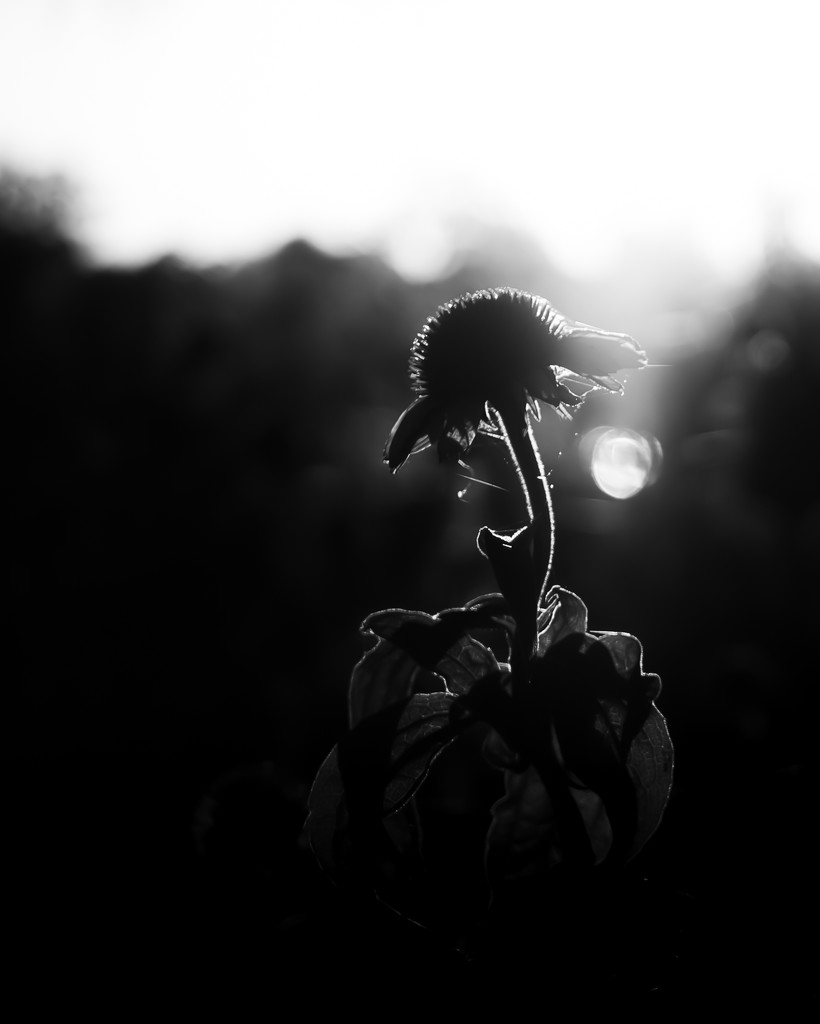 dead flower by northy