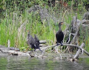 5th Sep 2020 - Double-crested Cormorants...