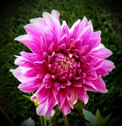 5th Sep 2020 - Another Dahlia