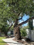 5th Sep 2020 - Heritage Tree