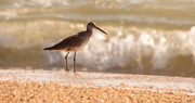 5th Sep 2020 - Another Willet Waiting for the Waves!