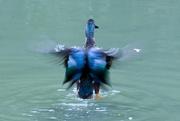 6th Sep 2020 - Shoveler duck flapping