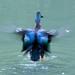 Shoveler duck flapping by maureenpp