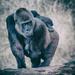 Taronga - Lowland Gorilla