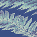 Get Pushed 423 - Anna Atkins's cyanotypes - Tree Fern