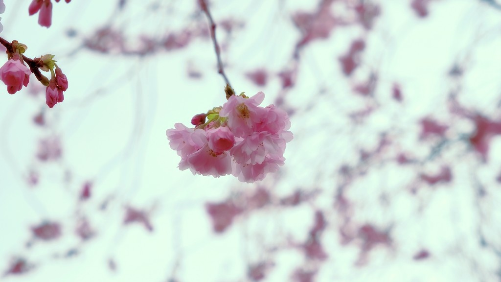 First Blossom by maggiemae