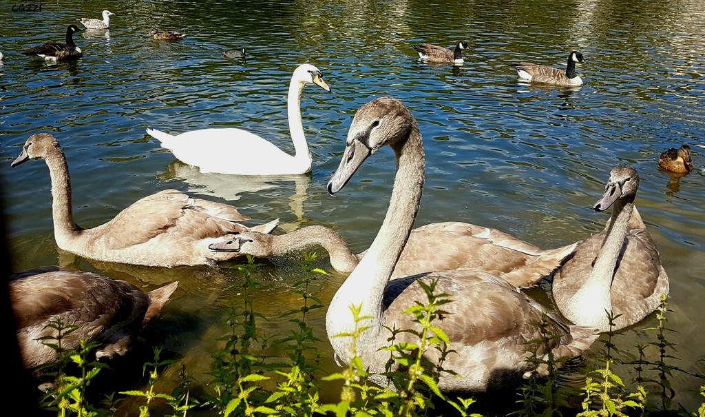 S for Swans by serendypyty