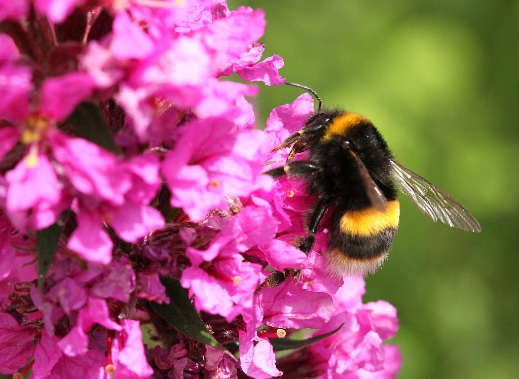 Bee by bybri