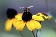 6th Sep 2020 - Big Eyed Bee