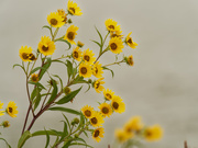 6th Sep 2020 - Giant sunflower