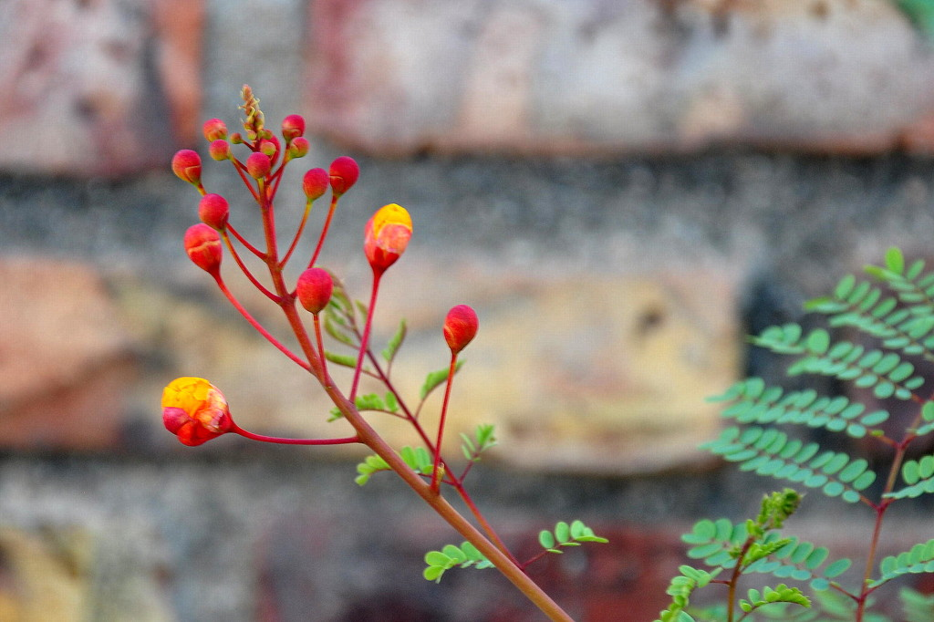 Pride of Barbados (Or Mexican Bird of Paradise) by stownsend