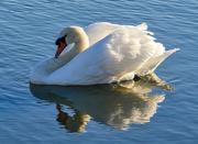 6th Sep 2020 - Swan.