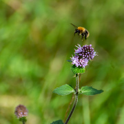 6th Sep 2020 - Bee