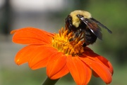 7th Sep 2020 - Big Flower, Big Visitor