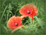 5th Sep 2020 - Poppies