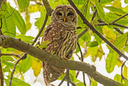 6th Sep 2020 - Barred Owl Trying to Decide What I'm Doing!