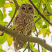 Barred Owl Trying to Decide What I'm Doing! by rickster549