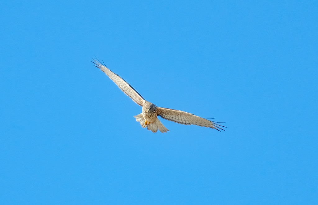 Australasian harrier hawk cruising by maureenpp