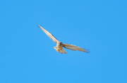 7th Sep 2020 - Australasian harrier hawk cruising