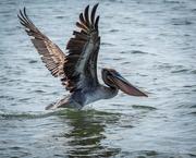 6th Sep 2020 - Pelican