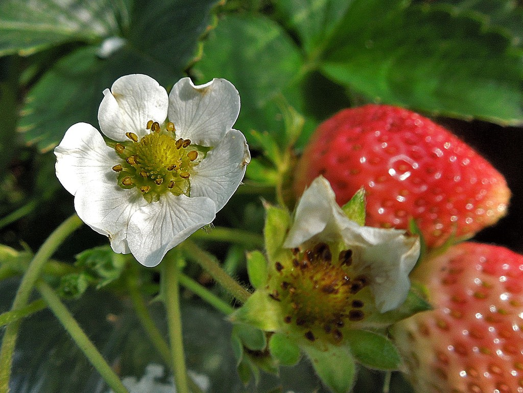 Strawberries by etienne