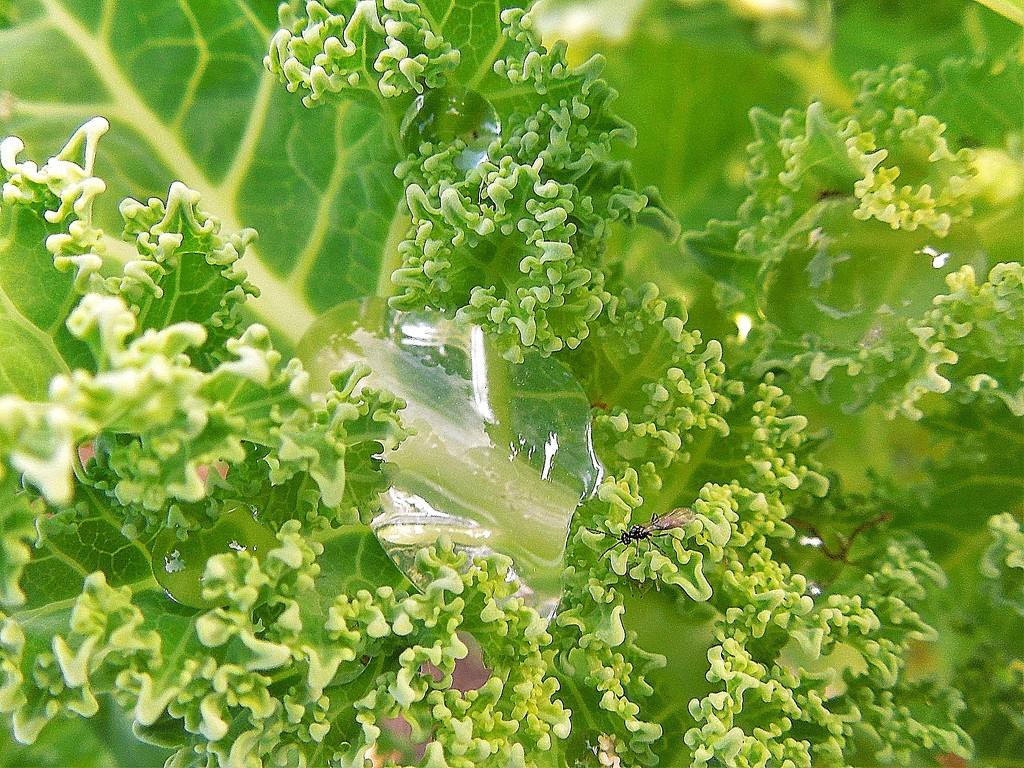 Kale by etienne