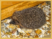 7th Sep 2020 - Prickly Little Visitor