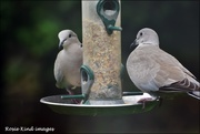 7th Sep 2020 - Lovely to see the doves