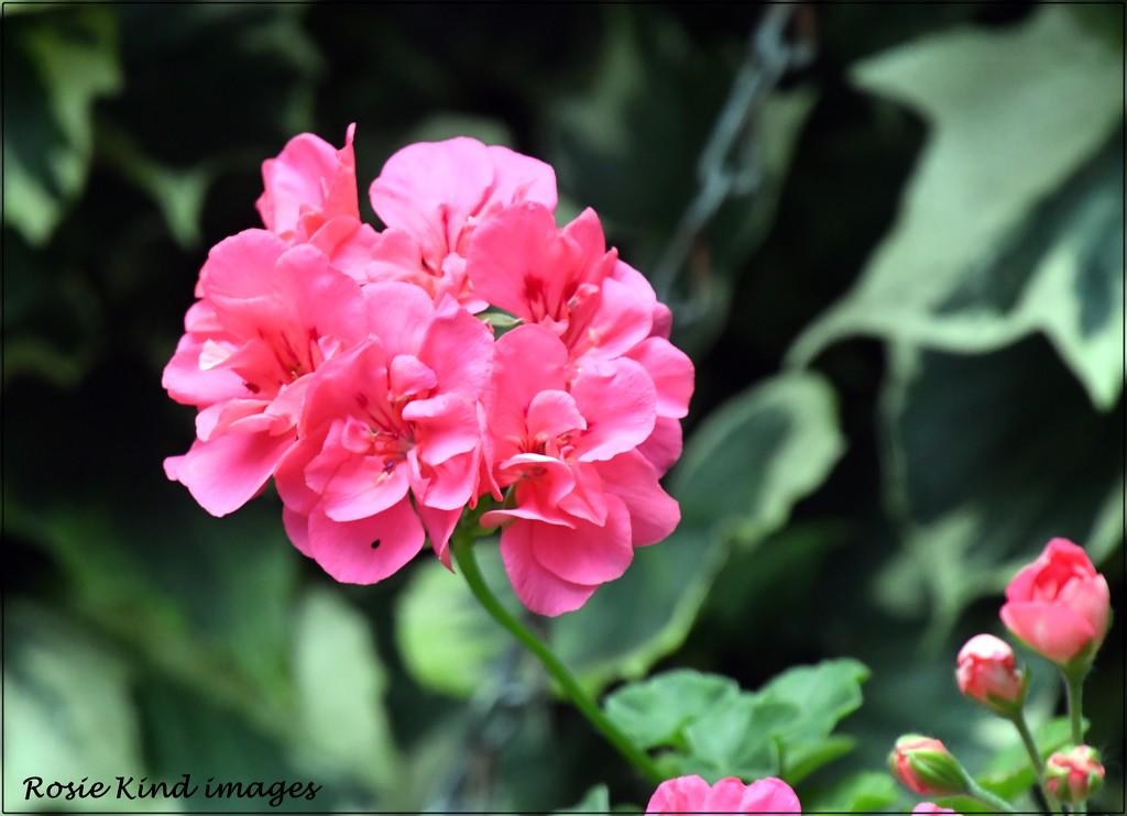 Pink geranium by rosiekind