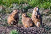 7th Sep 2020 - Trio of Prairie Dogs